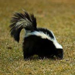 Removing odor of skunk on a dog